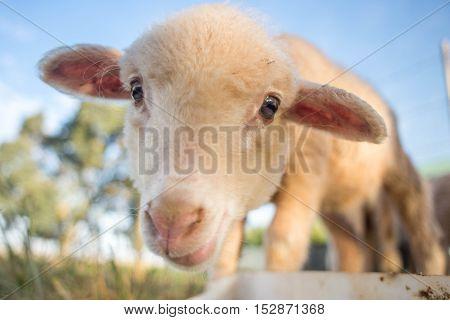 Portrait Of A Cute Lamb