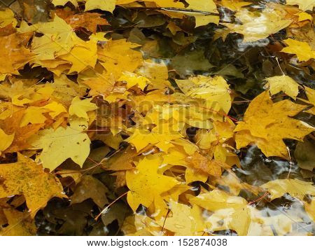 Fallen yellow leaves in water on lake