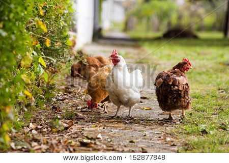 Rooster and chickens grazing on the grass