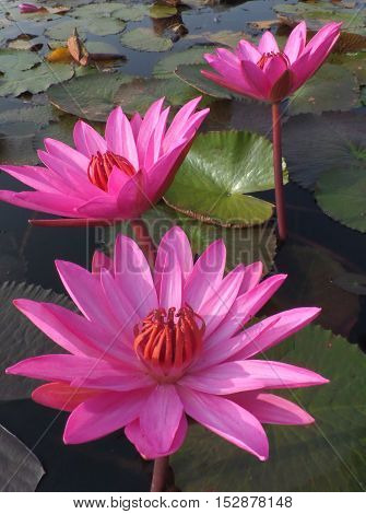 Three Blooming Vivid Pink Lotus Flowers in a lake, Vertical Picture
