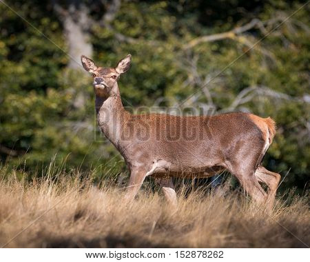 Female red deer standing and looking at camera