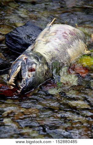 Spawned out chum salmon lying in the river eyes missing.