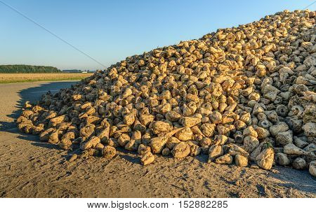 Large pile of sugar beets beside a country road waiting for transport to the sugar factory in the Netherlands on a sunny day in the fall season.