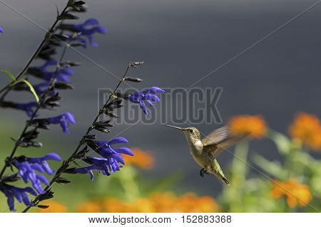 Ruby-throated Hummingbird in flight at bright blue sage.