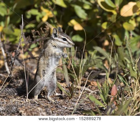 Dancing least chipmunk in grass and trees