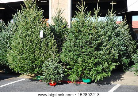 Christmas trees in the farmer's market for sale