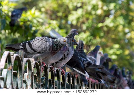 Pigeon Perched Atop A Metal Fence