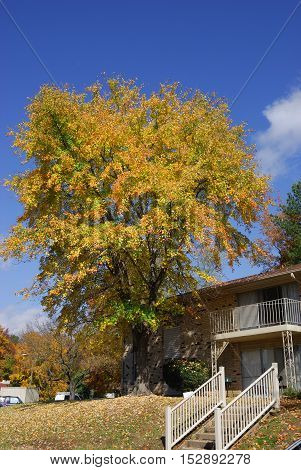 yellow autumn tree in residential area for design