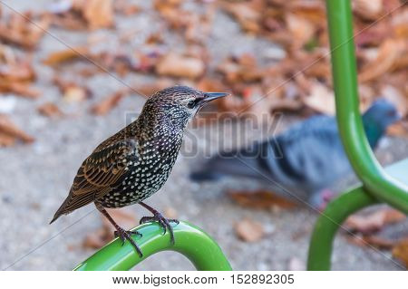 Common Starling On Pipe