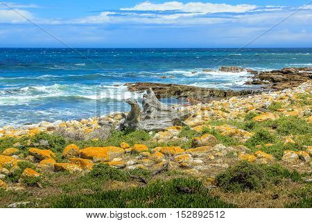 Beach with boulders and kelp in Cape of Good Hope. The Cape of Good Hope is seen as a backdrop to a boulder strewn beach covered in kelp. Atlantic coast in Cape Peninsula, South Africa.