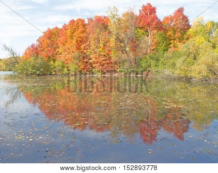 As October nears an end the trees at the edge of a small inland lake blaze in a brilliant show of autumn color while its leaf-strewn reflection doubles the splendor. Newburg Lake Livonia Michigan.
