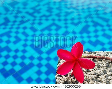 Red frangipani (plumeria) flowers pagoda tree on swimming pool
