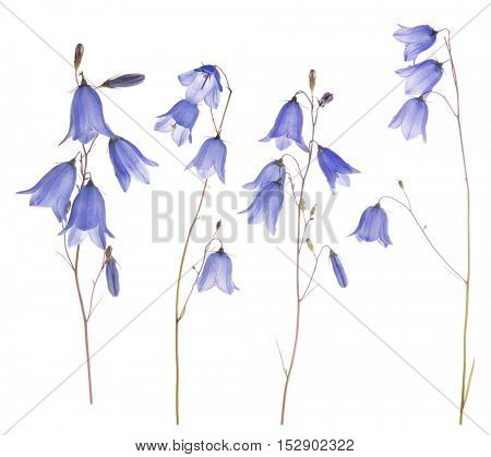 set of forest bellflowers isolated on white background