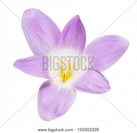lilac crocus flower isolated on white background