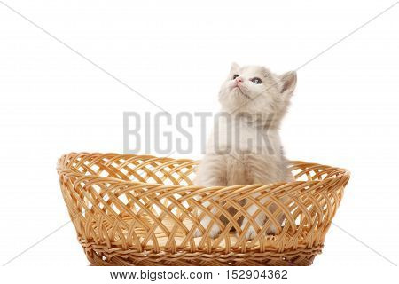 Little 3 week old kitten in the wicker looks upon the white background