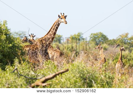 Herd Of Giraffes Walking In The Bush. In The Kruger National Park, Major Travel Destination In South