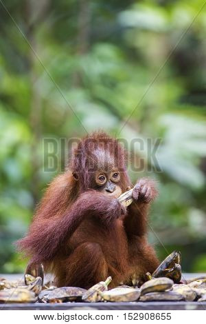 Baby orang-utan eating a banana in its native habitat. Rainforest of Borneo.