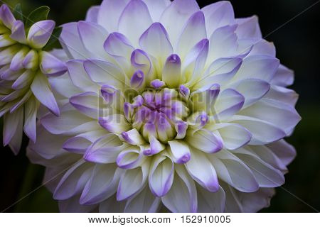 Close-up of dahlia flower in the summer garden. Macro photography of nature.