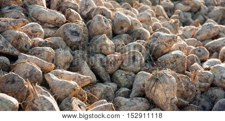 Closeup of piled recenty harvested and still muddy sugar beets at the edge of a Dutch field in early morning sunlight in the beginning of the fall season.