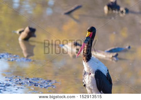 Close Up Of A Saddle-billed Stork In The Water. Mapungubwe National Park, Famous Travel Destination