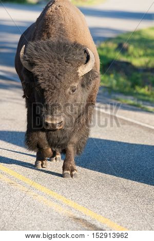 Lonely bison on the road in Yellowstone National Park Wyoming USA