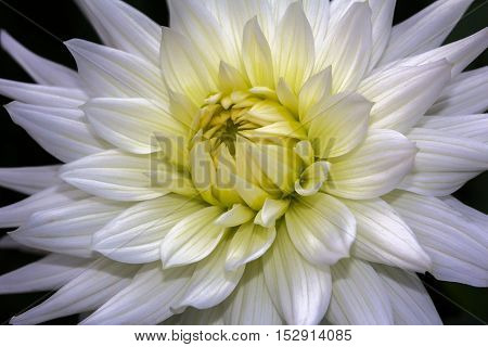 Close-up of white dahlia flower in the summer garden.