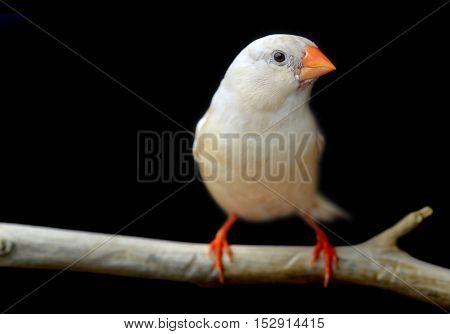 Light Cream Color Zebra-finch Bird