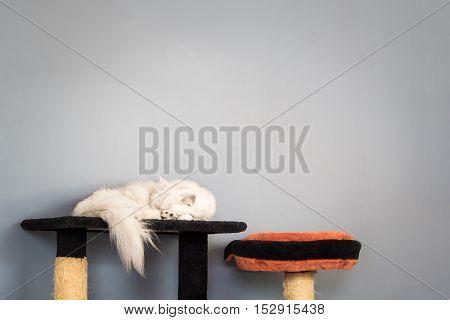 Minimalist image of light brown furry cat sleeping on gray wall background