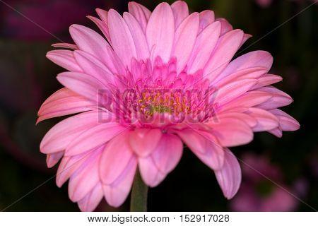 Close-up of pink gerbera flower. Macro photography of nature.