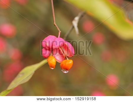 close photo of bright pink and orange fruits of common spindle with drops of water in autumn
