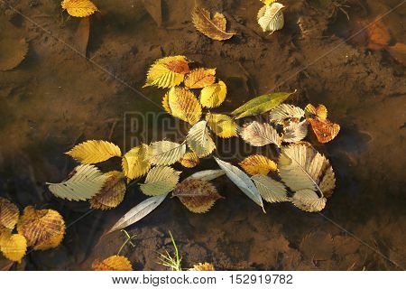 yellow leaves of alder and willow fallen into the puddle of water