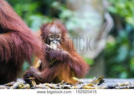 Baby orang-utan eating a banana next to its mother in its native habitat. Rainforest of Borneo.