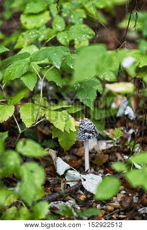 Poisonous mushrooms in forest in fall season.