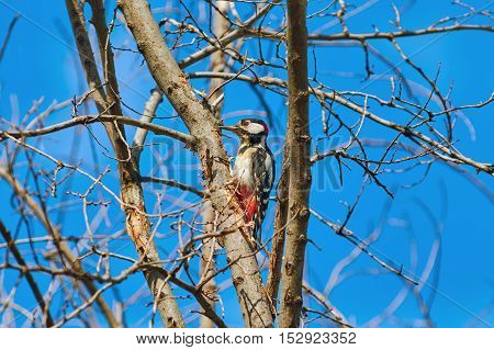 White-backed Woodpecker (Dendrocopos leucotos) on the Bare Tree