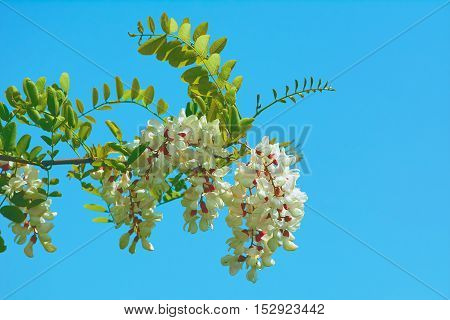 Acacia Branch with Flowers against Blue Sky