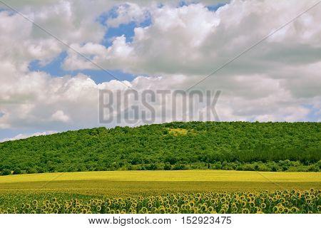 Ripe Sunflowers Field near Hillside in Bulgaria