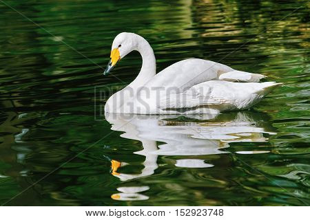 White Swan on Water Surface of the Pond