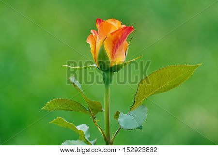 Pink Rose Flower over the Green Background