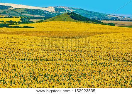 Ripe Sunflowers Field in Varna District Bulgaria