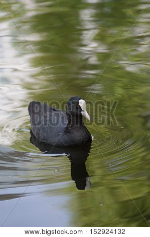 Close up of a swimming coot. Coots