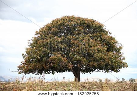 Lone Tree On Hill Tasmania