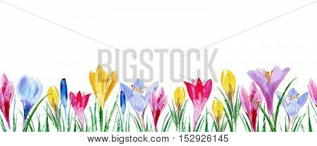 Seamless border from crocus flowers. Watercolor hand drawn illustration.Spring
