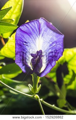 Macro Shot Of Pea Flower Or Purple Flower Or Butterfly Flower With Sun Light.pea Flower Can Make Sha