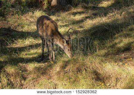 Young Hind Doe Red Deer In Autumn Fall Forest Landscape Image