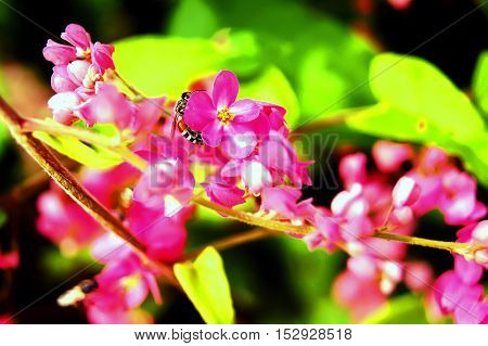Polygonaceae In Pink With Bees Flying Around.
