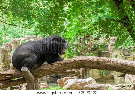Bear sitting on a branch  in the forest.