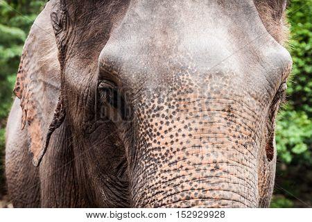 Close up of big eyes Asian elephant