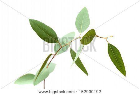 Fresh Green Eucalyptus, Young Branch