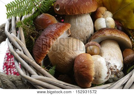 Fresh wild porcini mushrooms (boletus edulis) in wicked basket with yellow leaves