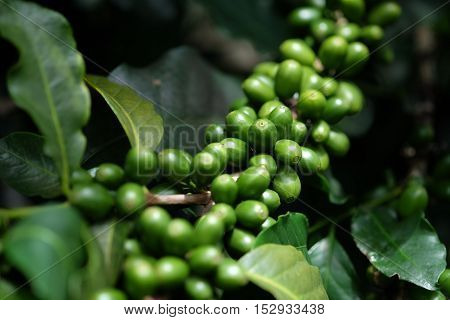 raw coffee fruit in chiang mai in thailand